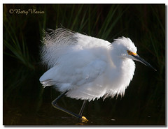 Snowy Egret (Betty Vlasiu) Tags: snowy egret egretta thula bird nature wildlife