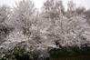 Snow 2017 (tim ellis) Tags: snow suttonpark tree branch wyndleygate birmingham uk