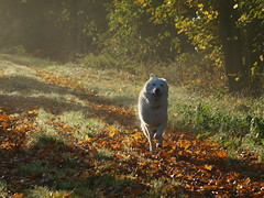 Filou-Herbst (IS OZ Photo) Tags: filou karlosfilou hund dog herbst autumn licht light olympus zuiko isoz oly olympuse esystem ft fourthirds dslr spiegelreflex e3 colorful bergerblancsuisse weisserschäferhund schweizerschäferhund schäferhund whitesheepdog whiteshepherd shepherd sheepdog chien perro cane pet animal tier 2017 natureart nature natur naturart outofnature outdoor waterdrops wassertropfen tropfen drops bunt farbe farben color colors spiel game funny fun filouvomweissengolde 500 500faves fav500 flickr witteherder 4000views