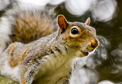 Alert squirrel (philbarnes4) Tags: squirrel rodent mammal pakwood rainham kent england philbarnes alert dslr whiskers mouth eye ear nose