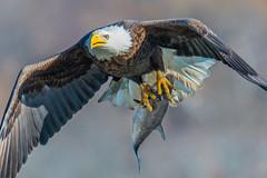 Bald Eagle (Vic Zigmont) Tags: baldeagle raptor birdinflight eagleinflight eaglewithprey eaglewithfish