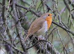 Old favourite (roger_forster) Tags: erithacusrubecula robin redbreast singing perch wild bird hampshire hiwwt