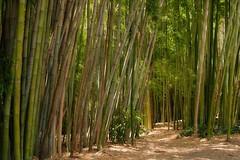 Bamboo Forest - Descanso Gardens - Los Angeles - California (Joe Son Nguyen) Tags: bamboo descanso gardens tamron 2875mm f28