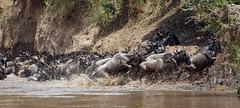Wildebeest migration - Kenya 2010 (jaytee27) Tags: masaimarakenya wildebeest marariver migration naturethroughthelens