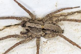 Wolf Spider (Alopecosa kochi)