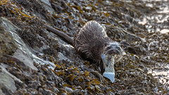 Otter (Distinctly Average) Tags: phillluckhurst distinctlyaverage wwwdistinctlyaveragecouk wildlife wexford wexfordwildfowlreserve ireland otter fish mammal canon handheld 7dmark2 100400ii