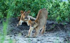 Stretch (zimbart) Tags: mozambique africa gorongosanationalpark fauna vertebrata mammals carnivora felidae panthera pantheraleo