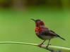 Crimson Sunbird on New Year's Day 2018 (Robert-Ang) Tags: crimsonsunbird sunbird animal wildlife nature animalplanet aethopygasiparaja jurongecogarden singapore