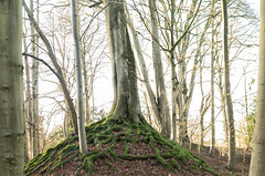Roots over the Iron age earthworks at Narborough (AJ Mitchell) Tags: camp narborough narboroughhall ironage prehistoric earthwork rampart norfolk roots moss kingslynn britishisles