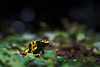 Small but deadly (Rico the noob) Tags: dof bokeh closeup d500 switzerland frog 70200mmf28 animal 2017 macro schweiz published zurich 70200mm animals eye zoo indoor nature