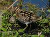 Wilson's Snipe (Gatorgirl51) Tags: wilsons snipe elusive foraging bird nikon