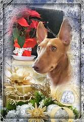 Buon Anno da Rosalia (Luigi Strano) Tags: cirnecodelletna rosalia dog dogs cane cani sicilia sicily italy europe
