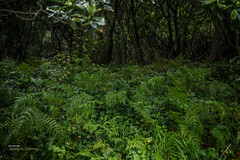 Green kingdom (Oddiseis) Tags: cudillero asturias spain atlantic wood forest plants vegetable fern shadows tree green colors nature flora moist cloudy rainy tamron247028