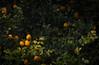 """SDIM5219-sd1- """"Limoni""""- voigtlander apo-skopar 150mm f8 (ciro.pane) Tags: sigma sd1 merrill foveon limoni maturazione giardini sorrento italia italy italien italie voigtlander aposkopar 150mm f8 colori saturazione brillanza bokeh"""