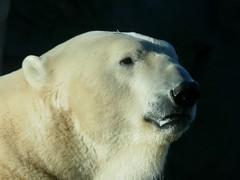 Polar Bear LLOYD (BrigitteE1) Tags: zooammeer lloyd eisbär zam712018 bear polarbear oursblanc portrait bremerhaven germany specanimal