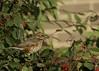 Eurasian Redwing DSC_5337 (wildlifelynn) Tags: eurasianredwing turdusiliacus carrington nottingham adult bird migrant wintervisitor overwinters winterflocks mixedwinterflocks widespread coastland inland urban rural gardens parkland hedgerows farmland woodlandedges passerine perches sexessimilar brownbackwings creamboldlyspottedbreast whitishcreamundertailvent reddishbrownunderwings reddishbrownflanks prominentsupercilium broadcreamsupercilium fleshpinklegsfeet omnivorous insects earthworms apples berries rowan haws sorbus wary nervous tsseeptsseepcall breedsinicelandscandinavia winter earlyafternoonsunshine citysuburbs cotoneastershrub leavesredberries emptyberryspraystems perched active feeding alert watchful bokeh