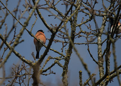 Bouvreuil pivoine (loudz57220) Tags: 150600 7d bouvreuilpivoine eurasianbullfinch pyrrhulapyrrhula animals bird canon markii nature oiseau tamron wildlife