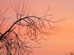 Tree Branches And A Pink Sky. (dccradio) Tags: lumberton nc northcarolina robesoncounty outside outdoors nature natural plant branches tree trees treebranches treelimb treelimbs colorful colorfulsky morning morningsky goodmorning landscape beauty beautiful pretty nikon coolpix l340 bridgecamera silhouette pink pinksky