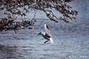 """Black Headed Gull Landing (annjbee """"Birdie Lover"""") Tags: blackheadedgulls gulls birds nature wildlife derbyshire birdwatching"""