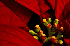 Poinsettia (olivier_kassel) Tags: fleur flower macro closeup poinsettia rouge red exoticimage coth5 bracts
