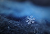 Snowflake n° 8 - Winter 2017-2018 - Switzerland (Rogg4n) Tags: macro realmacro snow snowflake flocondeneige white extensiontubes kenko efs60mmf28macrousm winter hiver bokeh nature symetry pattern crystal chauxdefonds switzerland ice cold wonderland wool scarf closeup season quiet black jewel dendrite purple star pink canoneos80d