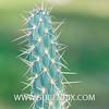 Miqueliopuntia miquelii-2 (SUBENUIX) Tags: cactaceaeopuntias miqueliopuntiamiquelii suculentas subenuix subenuixcom planta suculent suculenta botanic botanical