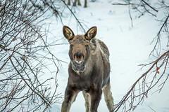 Moose (802701) Tags: 2016 201612 arctic arcticcircle december2016 europe kiruna polarnight sweden travel moose wildlife nature