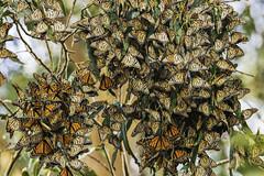Monarch Butterfly Grove in Pismo (punahou77) Tags: monarchbutterflygrove monarchbutterfly monarch butterfly nature nikond500 nikon punahou77 park pismobeach pismo trees tamron150600mmlens eucalyptus california roadtrip
