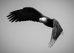 B&W Eagle Pose (TroyMarcyPhotography.com) Tags: 400mm 7d american bw bald bird canon eagle illinois iowa midwest mississippi nature river wildlife winter f56l