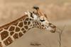 Afternoon Snack! (ToddLahman) Tags: giraffe kilimapoint beautiful outdoors mammal sandiegozoosafaripark safaripark canon7dmkii canon canon100400 closeup goldenhour