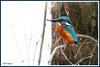 Martin-pêcheur 171227-07-P (paul.vetter) Tags: oiseau ornithologie ornithology faune animal bird martinpêcheur alcedoatthis eisvogel kingfisher