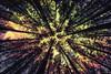 Hallucinations (pm69photography.uk) Tags: topaztextureeffects trees tree lookingup hallucinations southwest devon dartmoor spooky moody ilce7rm2 a7rii sony voigtlanderheliarf56 voigtlander pm69photographyuk