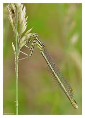 Shades of green (KH4EEU5QGJ3O3X3LATKNNYC572) Tags: odonata grass fly greens perched wings