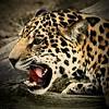 Jaguar (Pix.by.PegiSue>Thx 4 over 6M+ views! See my Albums) Tags: jaguar bigcat exoticcat jag allrightsreservedcopyrightpixbypegisue