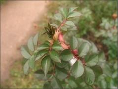 (Tölgyesi Kata) Tags: rosen rosa rosier rose rózsa leaf botanikuskert botanicalgarden withcanonpowershota620 macro vácrátótibotanikuskert nemzetibotanikuskert kordes vácrátót tél winter