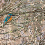Kingfisher. This is my best atempt at capturing one so far, they are so hard to photograph