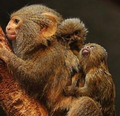 pygmee marmoset artis BB2A2988 (j.a.kok) Tags: marmoset pygmeemarmoset oeistiti dwergoeistiti aap klauwaapje animal zuidamerika southamerica artis moederenkind motherandchild babymonkey mammal zoogdier dier