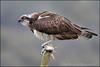 Osprey (Mike Warburton Photography) Tags: wales birds wildlife nature osprey raptor hawk birdofprey spring summer migrant predator fish roach canon 70d sigma colour