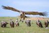 Kenia - 850_6484.jpg (Marc's Stream) Tags: kill kenya vulture ken geier narok kenia masaimara