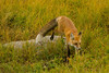 The 'eyes' have it (ChicagoBob46) Tags: redfox fox vixen yellowstone yellowstonenationalpark nature wildlife ngc coth5 npc