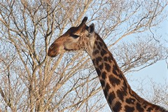 Among the Branches (The Spirit of the World ( On and Off)) Tags: giraffe wildlife nature safari gamedrive ngala timbavati southafrica gamereserve limbs treelimbs tree portrait tall ngc npc