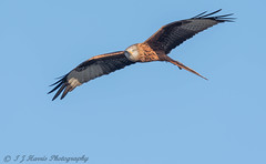 Red Kite (ian._harris) Tags: nikon naturaleza nature sigma d750 500mmf45 watilington december