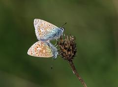COMMON BLUE PAIR 140517 (gazza294) Tags: commonblue butterfly butterflies butterflyconservation flicker flickr flckr flkr gazza294 garymargetts