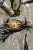 Citizen Snips!! (Futurama) (Neil B's) Tags: futurama citizen snips crab belly up beach cornwall newquay sun summer sand sea water wet dead