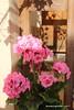 Pink Geranium - Tabatabae Historical House (1834) - Kashan Iran (WanderingPhotosPJB) Tags: flickruploaded flowers pinkpurple iran kashan tabatabaehistoricalhouse pink geranium islamicrepublic islam
