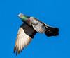 Falcon Diner - Blue Plate Special (edmason88) Tags: pigeon blueplatespecial falcondiner tamron150600 edmonton alberta canada