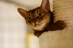 Lizzie playing: You scratch me and I'll scratch you! (DizzieMizzieLizzie) Tags: abyssinian aby beautiful wonderful lizzie dizziemizzielizzie portrait cat chats feline gato gatto katt katze katzen kot meow pisica sony animal pet 2017 cute yellow neko macska kedi 猫 kočka kissa γάτα köttur kucing kaķis katė кошка mačka gatos kitteh chat ネコ beauty a6500 zeiss 55mm ilce6500 ilce sel55f18z sonnar awesome digital golden style sport sonnar5518za