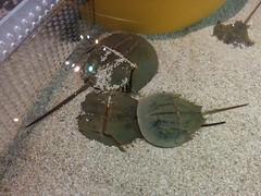 Horseshoe crabs (1) #toronto #ripleysaquarium #aquarium #horseshoecrabs #crabs #crustacean  #latergram (randyfmcdonald) Tags: crabs ripleysaquarium latergram crustacean aquarium horseshoecrabs toronto