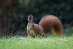 Eichhörnchen (christianweber2405) Tags: squirrel nature wiese