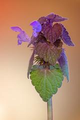 Purpurrote Taubnessel │ Purple dead-nettle │ Lamium purpureum (Bluesfreak) Tags: kreuzwertheim pflanzen purpurrotetaubnessellamiumpurpureum rainberg